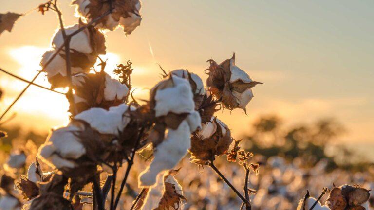 Organic cotton plants.